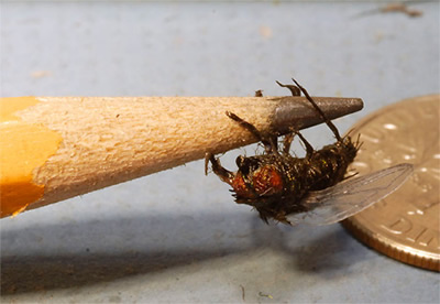 replica housefly on a pencil tip