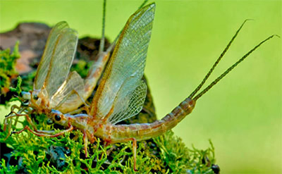 Super realistic adult mayfly