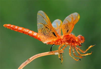 Replica orange dragonfly