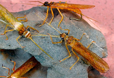 Realistic adult golden stoneflies