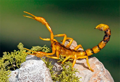 life-size realistic Scorpion available for rent, created by Leif Ortenholm of Sweden