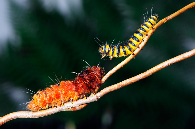 pair of realistic caterpillars for a Dr Pepper TV commercial