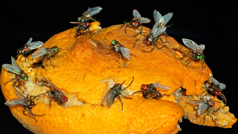 Realistic housefly props, same as fly in TV show Breaking Bad season 3 episode 10 Fly