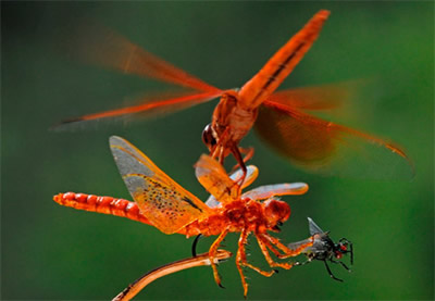A wild living dragonfly attacking a replica dragonfly, perhaps attempting to take the realistic housefly