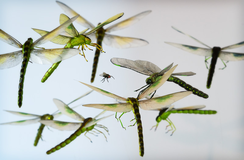 realistic green dragonflies chasing a housefly