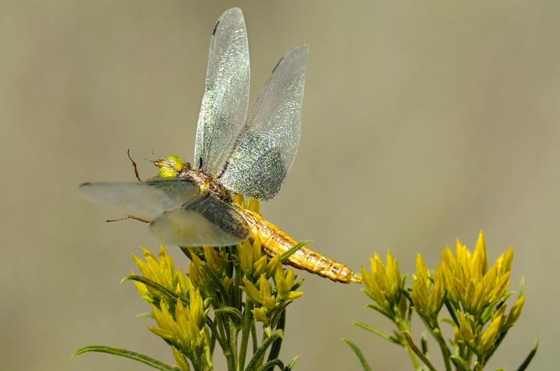 dragonfly replica with realistic detailed iridescent wings