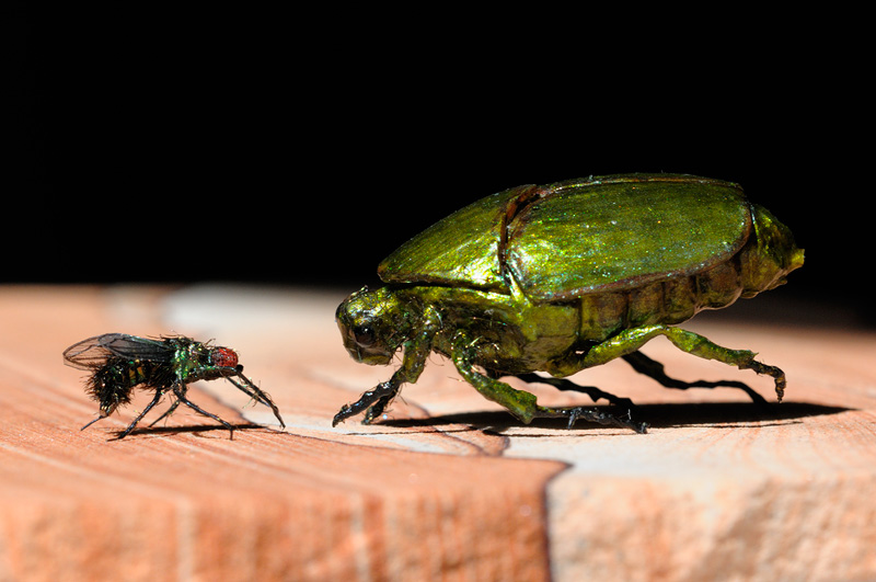 realistic life size iridescent green beetles and housefly