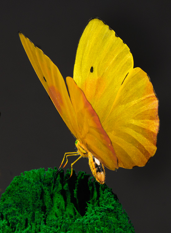 Yellow and orange detailed butterfly replica with glowing wings